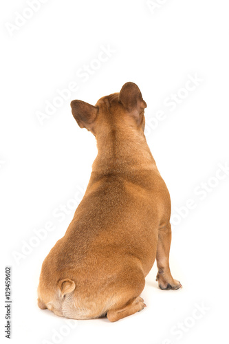 Fotobehang Franse bulldog Sitting french bulldog dog seen at its back looking up isolated on a white background