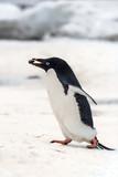 Adélie penguin with Rock
