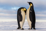 Emperor penguin crying on friend's breast