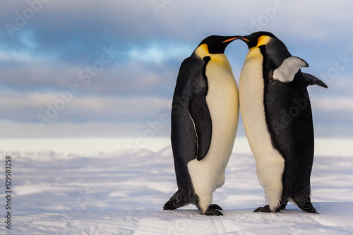 Aluminium Pinguin Two emperor penguins standing belly to belly, cheering