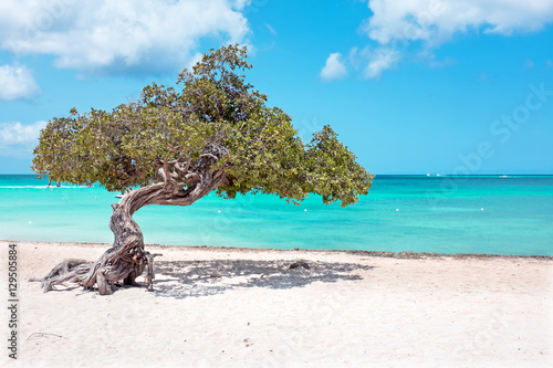 Poster Divi divi tree on Aruba island in the Caribbean Sea