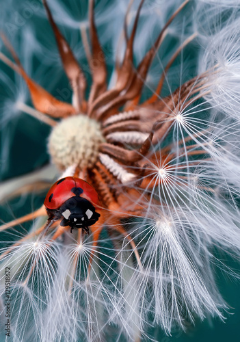 Ladybug - 129518672