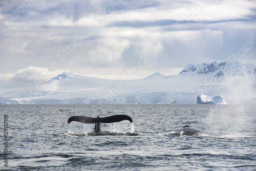 Foto op Canvas Antarctica Whale on Ice