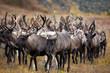 herd reindeer cariobu