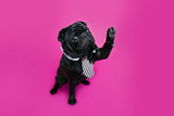 Black pug dog with paw up wearing tie. Puppy high five on pink background - 129605051
