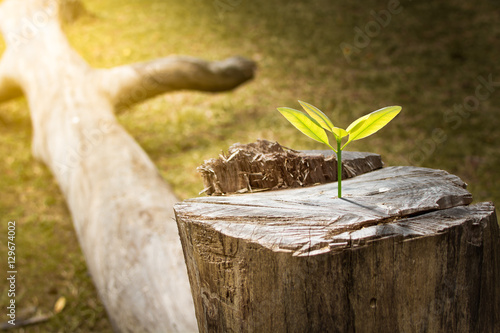 Poster New development and renewal as a business concept of emerging leadership success as an old cut down tree and a strong seedling growing in the center trunk as a concept of support building a future