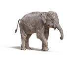 elephant with out tusk isolated on white background - 129683415