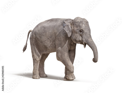 elephant with out tusk isolated on white background Poster