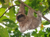 Fototapety Cute sloth, Bradypus variegatus, hanging from a branch in the forest, wild animal, Panama, Central America