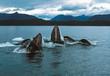 Humpback whales lunge feeding