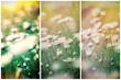 Daisy flowers in meadow - beautiful flowering (blooming) in spring