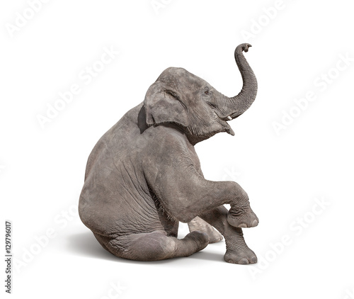Fototapeta young baby elephant sit down to show isolated on white backgroun