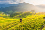Farmer in Rice fields on terraced of Vietnam. Rice fields prepare the harvest at Northwest Vietnam.Vietnam landscapes.