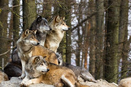 Aluminium Wolf Wolf pack