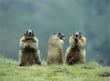 Three Marmots - 129881658