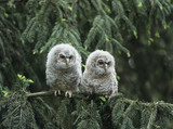 Two owlets perching on tree branch - 129884048