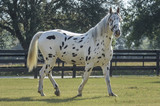 Knabstrupper horse in paddock - 129941007