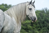 gypsy vanner horse mare portrait - 129941226