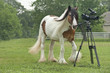 Gypsy Vanner horse with video camera in paddock