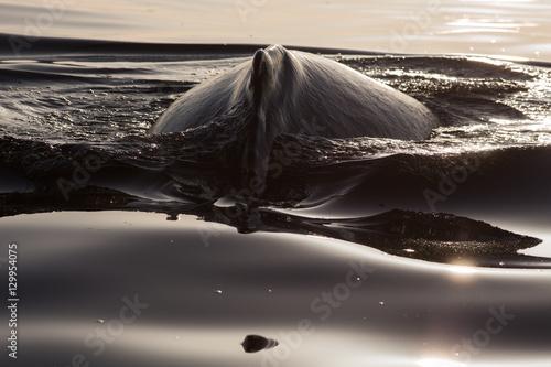 Poster Closeup back of humpback whale in Samana, Dominican republic