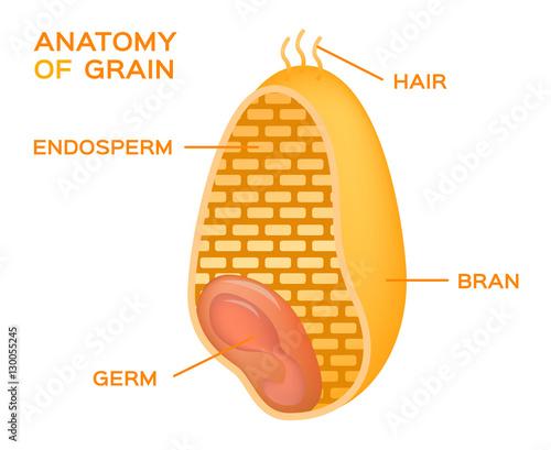 Grain Cross Section Anatomy Endosperm Germ Bran Layer And Hairs