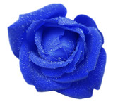 blue rose flower with dew. White isolated background with clipping path. Closeup. no shadows. Nature.
