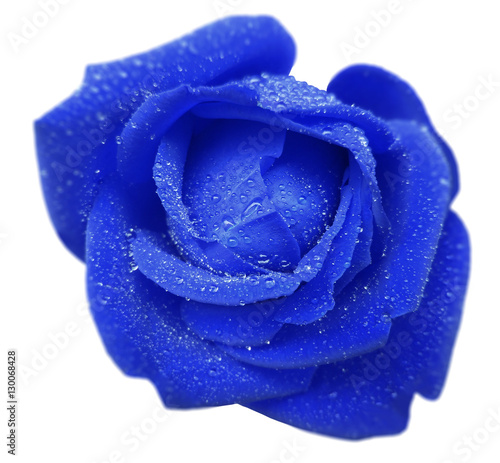 Foto op Aluminium Donkerblauw blue rose flower with dew. White isolated background with clipping path. Closeup. no shadows. Nature.
