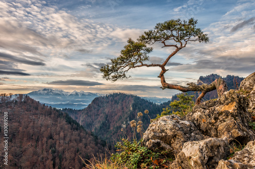 Zdjęcia na płótnie, fototapety na wymiar, obrazy na ścianę : Dwarf pine tree on Sokolica peak, Pieniny, Poland