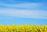 Blue sky and yellow rapeseed