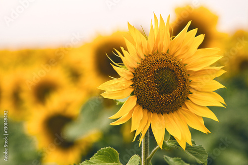 Fototapeta Bright yellow sunflower in field