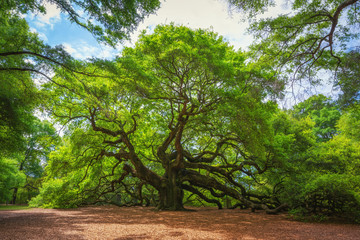 Angel Oak Tree  © Michael