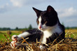 Black and white cat basking in a haystack in a field