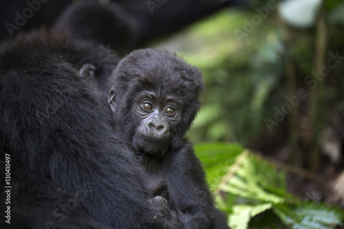 Portrait of wild free baby mountain gorilla Poster