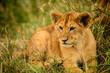 Wild lion cub rests in grass