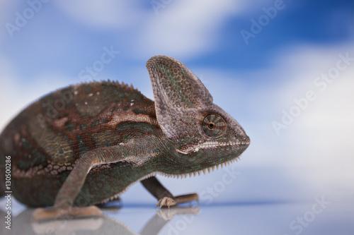 Fotobehang Kameleon Kameleon jemeński