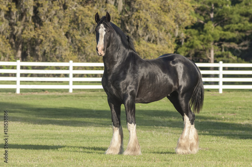 Shire Draft Horse stallion Poster