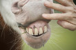 Hand on horse muzzle revealing Paint Quarter Horse stallion teeth