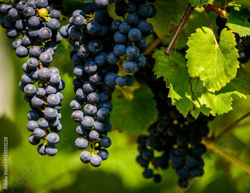 Vineyard of purple grapes