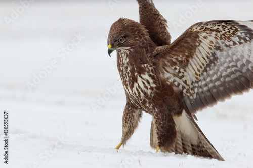 Poster The common buzzard (Buteo buteo) with the spread wings on th snow