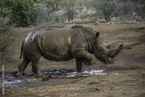 Poster Muddy rhino