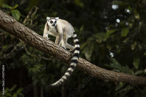 Poster Lemur in their natural habitat, Madagascar.