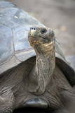 Portrait of Galapagos Tortoise