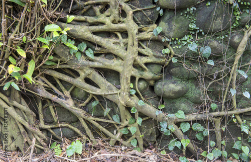 In de dag Bamboo giant banyan tree root