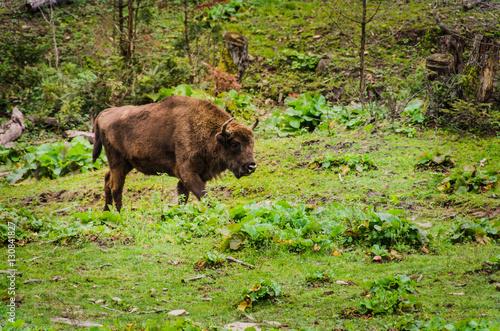 Fotobehang Bison Herd of Bisons and calf at Bialowieza National Park