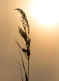 reeds on a sunset background - 130852429