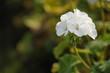 Leinwandbild Motiv cluster of white Geranium flowers in the morning