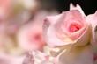 薔薇(マチルダ)