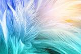 Fototapety Green turquoise and blue color trends chicken feather texture background,Light orange