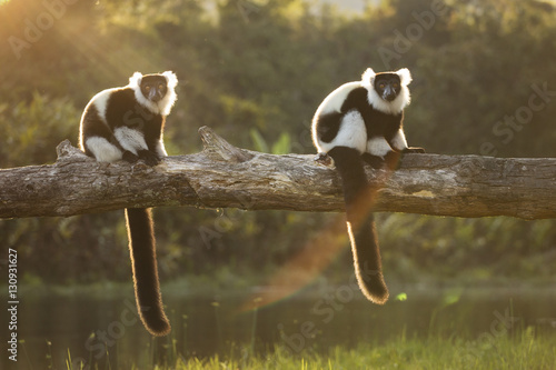 Lemur in their natural habitat, Madagascar. Poster
