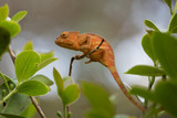 Perinet chameleon, (Calumma gastrotaenia)